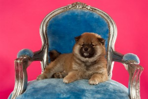 hondenfotografie Shiba Inu