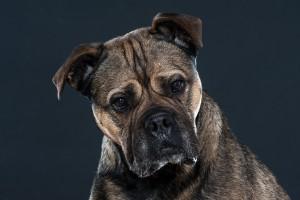 hondenportret kl