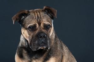 portret van hond kl