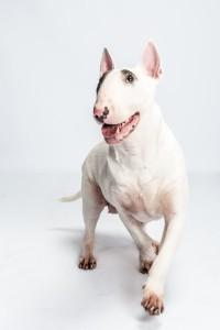 jonge Bull terrier