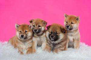 hondenfotograaf Shiba Inu