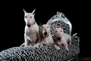 drie generaties Bull terriers