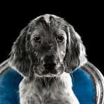 Engelse setter pup